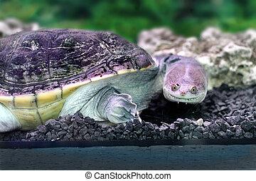 Image amphibian exotic animal Chelidae in water