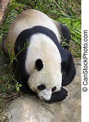 image, animals., arrière-plan., nature, sauvage, panda
