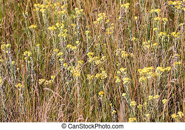 background field of yellow flowers in a meadow