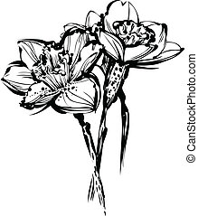 image black and white sketch of three flowers of narcissus