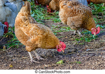chicken grazes in the farmyard yard