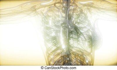 image corps, rayon x, humain