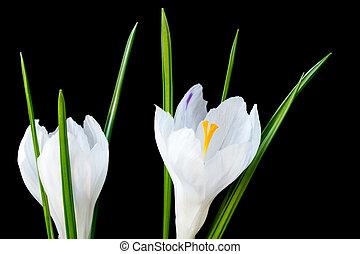 image, haut, deux, arrière-plan noir, fin, fleurs blanches, colchique