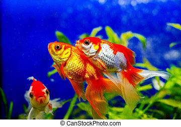 beautiful golden aquarium fish - image of a beautiful golden...
