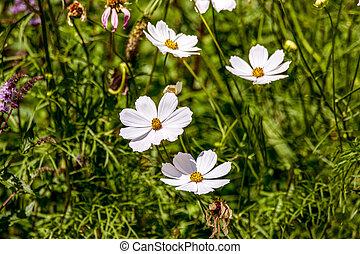 beautiful white kosmeya flower in the garden