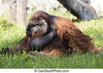 Image of a big male orangutan orange monkey on the grass.
