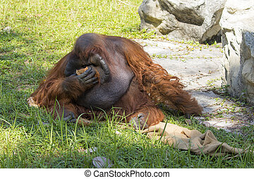 Image of a big male orangutan orange monkey on the grass. Wild Animals.