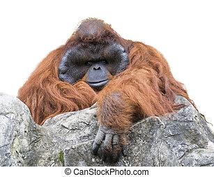 Image of a big male orangutan orange monkey on white background.