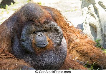 Image of a big male orangutan orange monkey on natural...