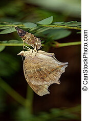 Image of a butterfly and pupa on nature background. Insect Animal (Lurcher.,Yoma sabina vasuki Doherty)