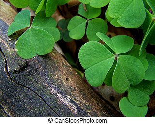Image of a Clover