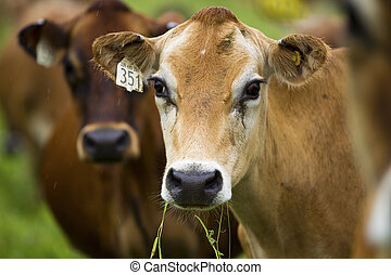 image of a cow with number tag