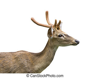 Image of a deer on white background.