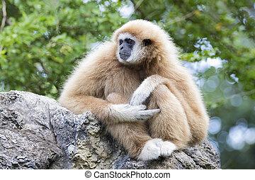 Image of a gibbon sitting on rocks