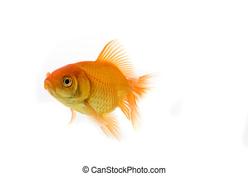 image of a goldfish