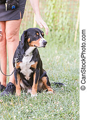 Image of a Greater Swiss Mountain Dog living in Belgium