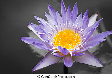 lotus - image of a lotus flower on the water
