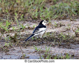 Image of a magpie stand on the ground.