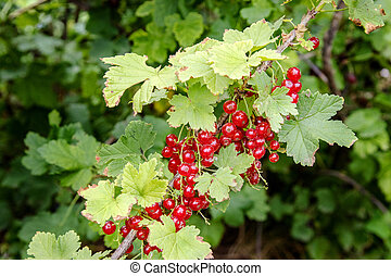 redcurrant berries on a bush in the garden