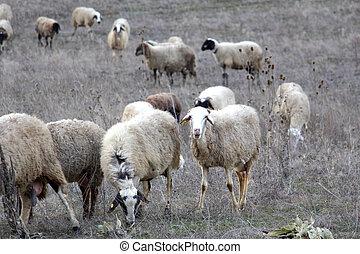 Sheep Grazing. domestic animal theme
