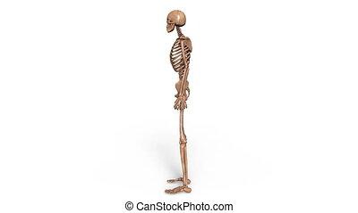 skeleton - Image of a skeleton.
