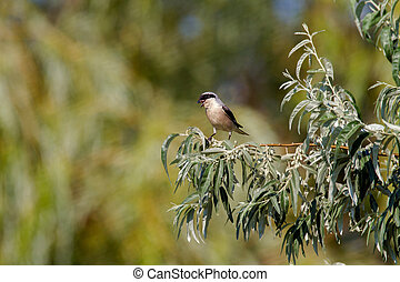 small bird on a branch of wild olive