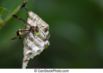 Image of a small brown paper wasp (Ropalidia revolutionalis) and wasp nest on nature background. Insect Animal