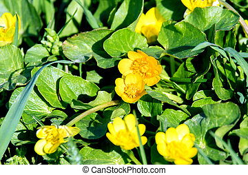 small meadow yellow flowers in a green grass