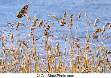 thicket of old yellow cane near the water - image of a...