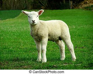 Lamb - Image of a white Lamb