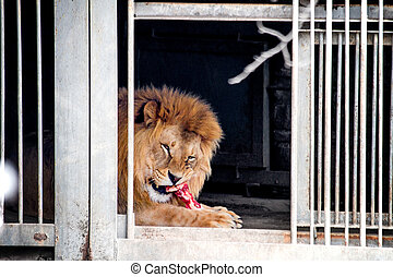 animal lion in a cage chewing on a piece of meat - image of ...