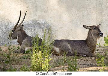 Image of an antelope.