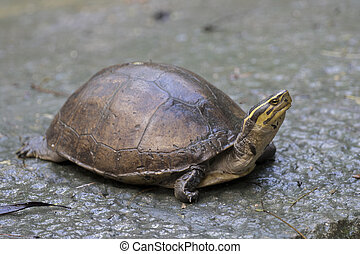 Image of an eastern chicken turtle in thailand