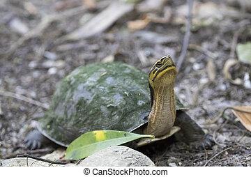 Image of an eastern chicken turtle in thailand. Wild Animals.