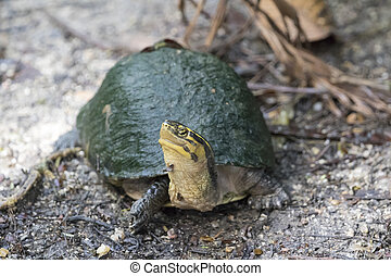 Image of an eastern chicken turtle on nature background.