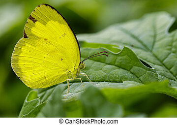 Image of Anderson's Grass Yellow Butterflies (Eurema...