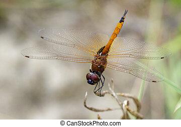 Image of Asian Amberwing dragonfly(female)/Brachythemis...