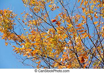 Autumn alder trees