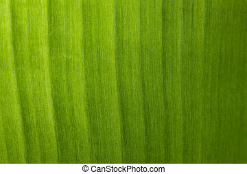 Image of background texture of banana leaf for your design.