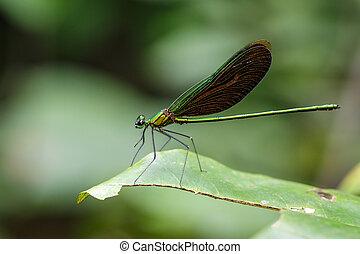 Image of beautiful dragonfly (Neurobasis chinensis...