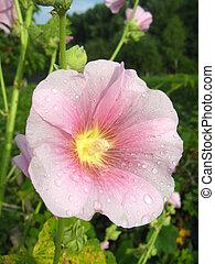 beautiful flower of pink mallow - image of beautiful flower ...