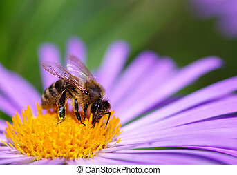 bee - Image of beautiful violet flower and bee