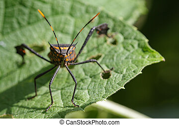 Image of black bug(hemiptera) on a green leaf. Insect....