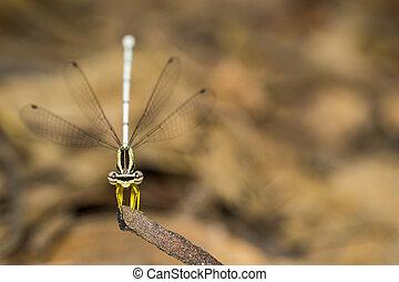 Image of Bragonfly Yellow Feather Legs / Copera marginipes...