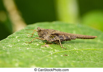 Image of brown grasshopper on green leaves. Insect Animal....