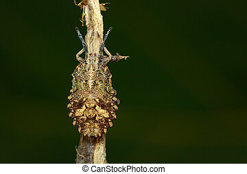 Image of Bug (Hemiptera) on dry branches. Insect. Animal