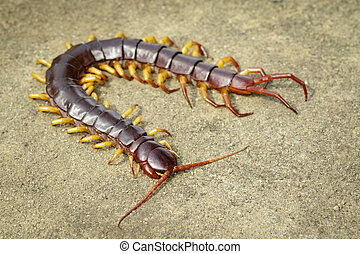 Image of centipedes or chilopoda on the ground. Animal....