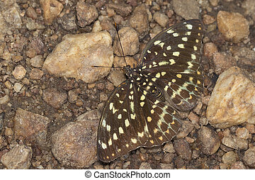 Image of Common Archduke Butterfly(female) (Lexias pardalis...