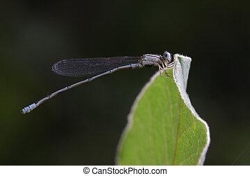 Image of Common Bluet Enallagma cyathigerum or Common Blue...