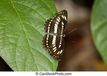 Image of common plain sailor butterfly on green leaves. Insect Animal. (Neptis hylas Linnaeus, 1758)